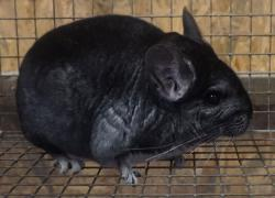Farm animals chinchillas plus cage