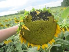 Hybrid seeds of sunflower - a Sunny mood