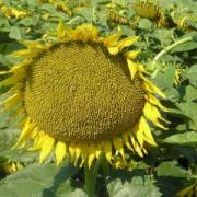 The sunflower Lakomka